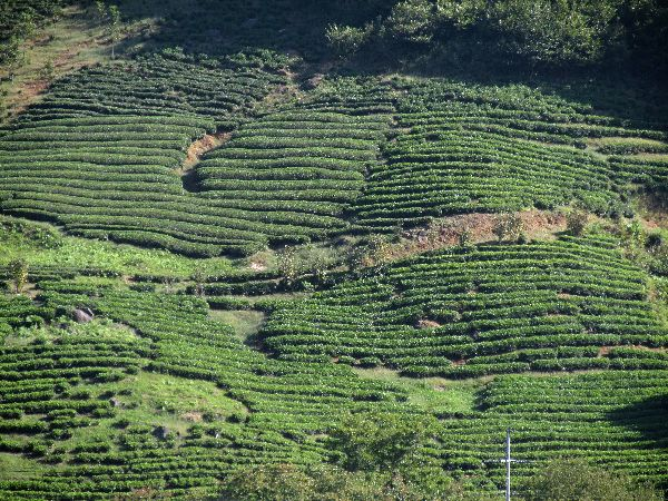 the tea plant essay Tea, tree or bush, its leaves, and the beverage made from these leaves the plant (camellia sinensis, thea sinensis, or c thea) is an evergreen related to the.